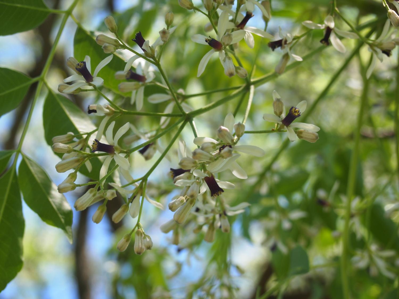 とっておきの練馬 写真館 Photo gallery栴檀(センダン)の木に花が咲きましたこの投稿者の他の投稿