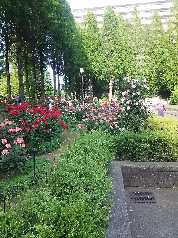 光丘玫瑰园