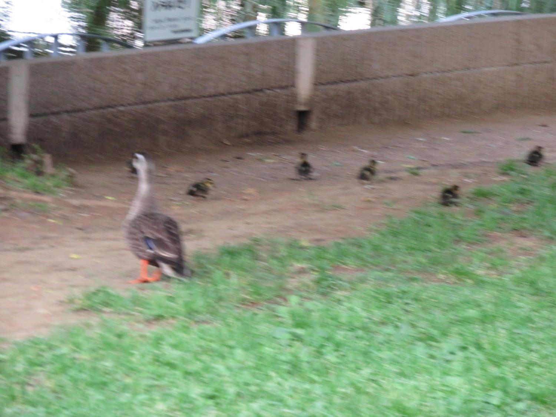 在karugamo父母子女散步