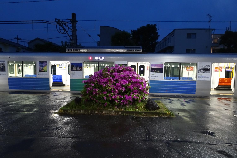 豐島園站的杜鵑花圖片