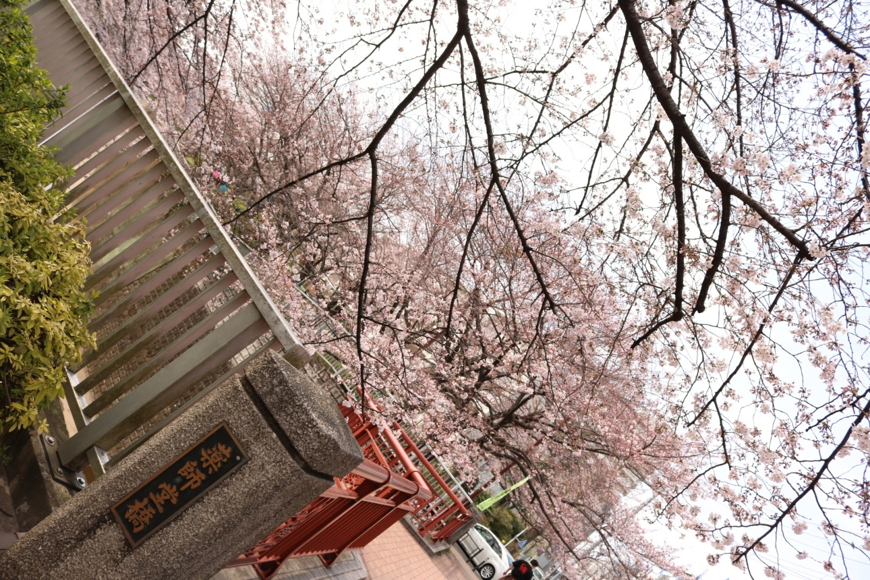 成排的樱花树