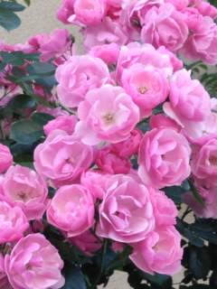 粉红色的玫瑰花~Pink Roses~