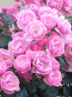 粉紅色的玫瑰花~Pink Roses~圖片