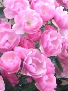 在幸福的粉红色的玫瑰花~5月开花的Happy Pink Rose~