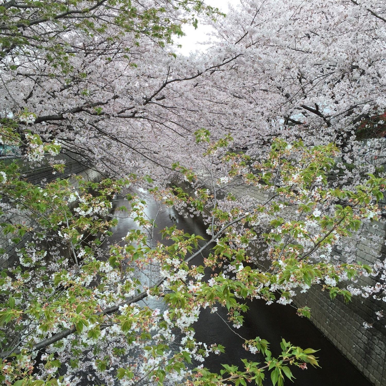 石神井川人行道的樱花