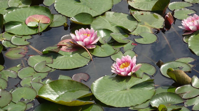 샤쿠지이코엔의 연꽃의 꽃