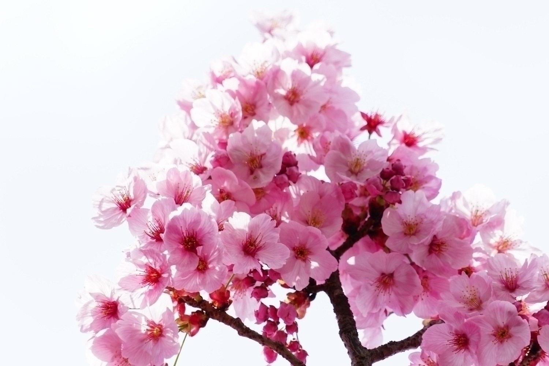 봄의 샤쿠지이 이미지