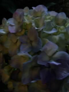 晚上的紫阳花
