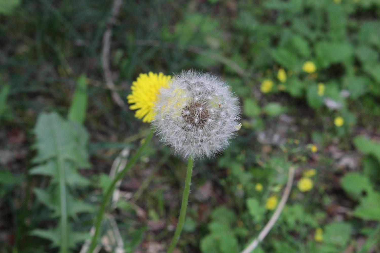 Hide-and-seek image of dandelion