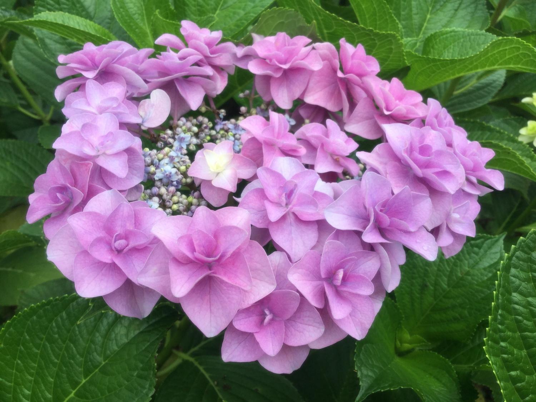 紫阳花的tiara图片