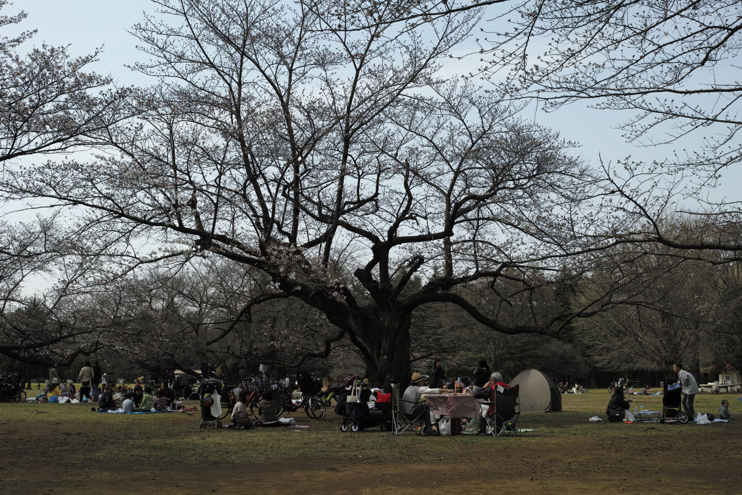 Cherry blossom viewing lunch♪