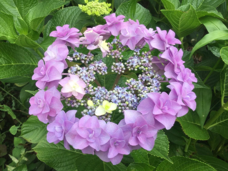 Smile of hydrangea. 2