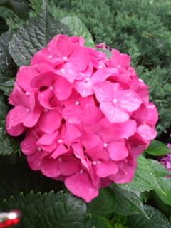 雨的紫陽花