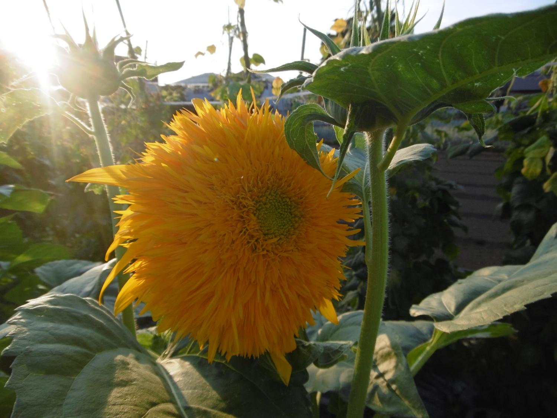 东北八重向日葵