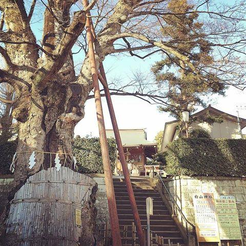 白山神社的大光叶榉树图片