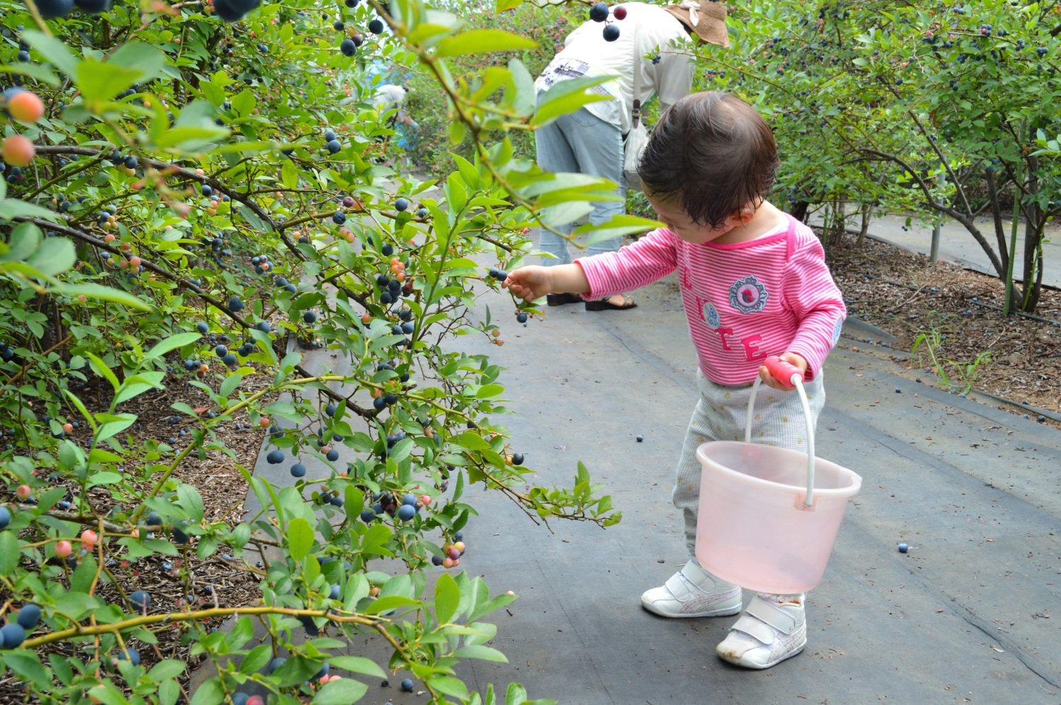 Among adults, it is earnest? Knob collecting of blueberry