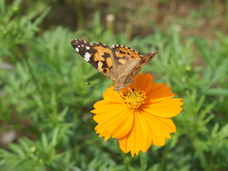 光丘的秋天飛舞的蝴蝶等