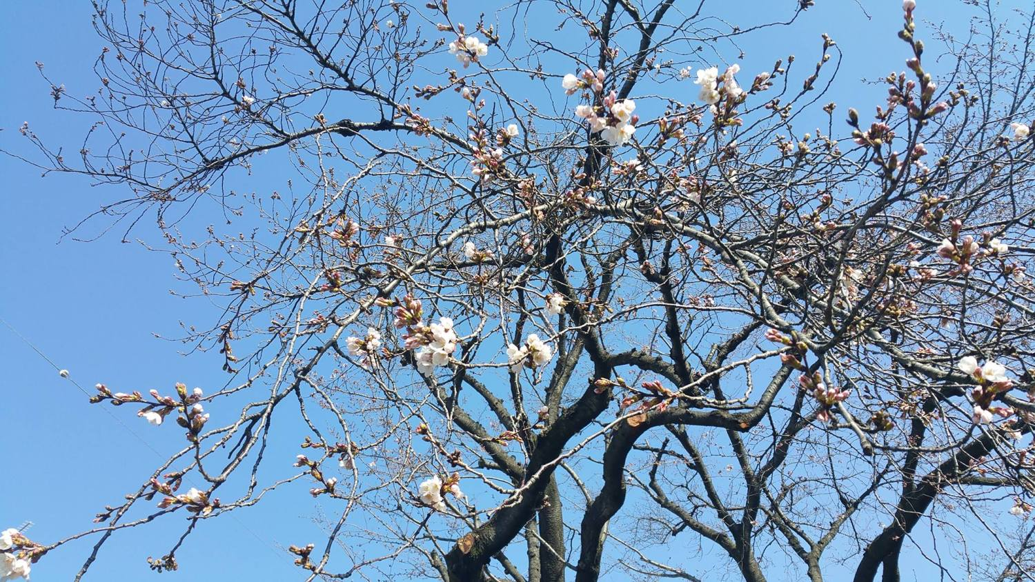 """Cherry blossoms"" of Oizumi Igashira Park"