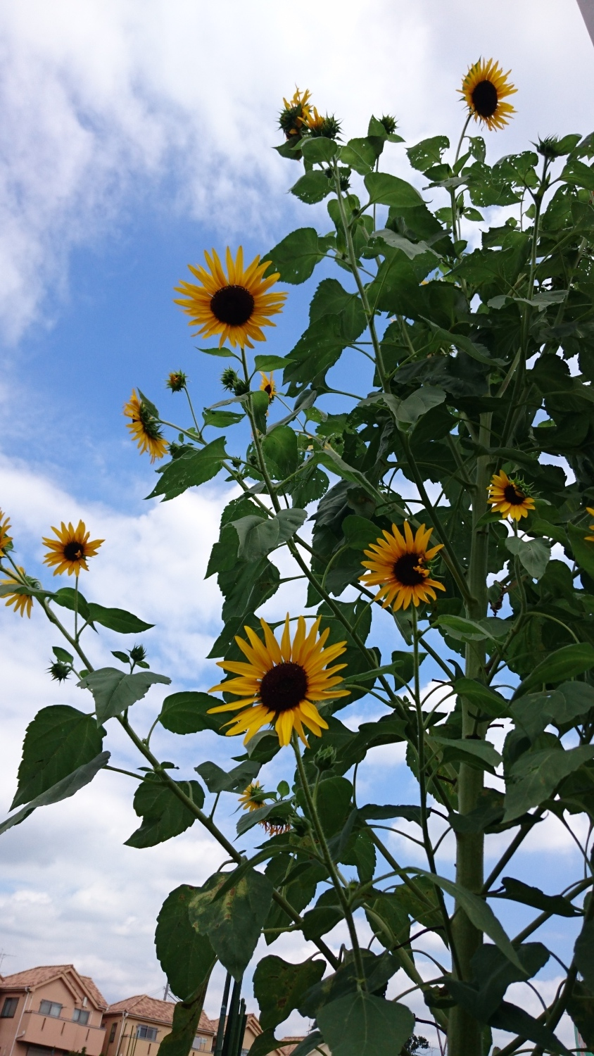 Summer trace blue sky and sunflower