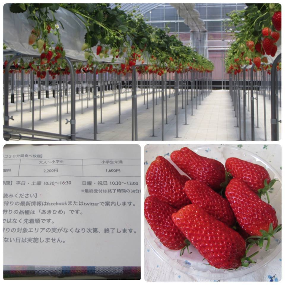 We gather strawberries in Nerima-ku!