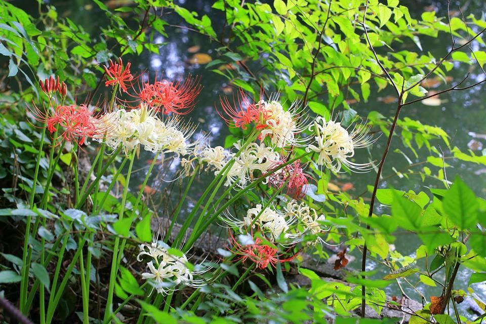 삼보지이케의 피안 꽃