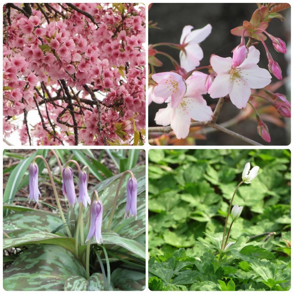 okanzakura image of Makino memory garden
