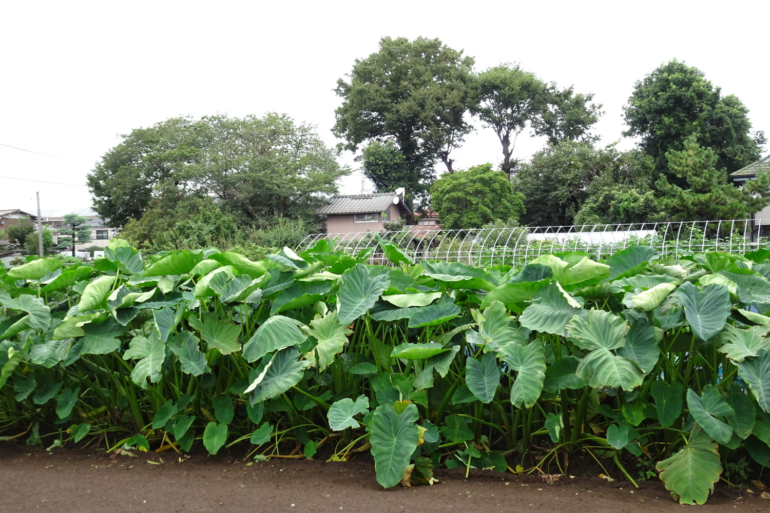 Original scenery (taro field) of Nerima