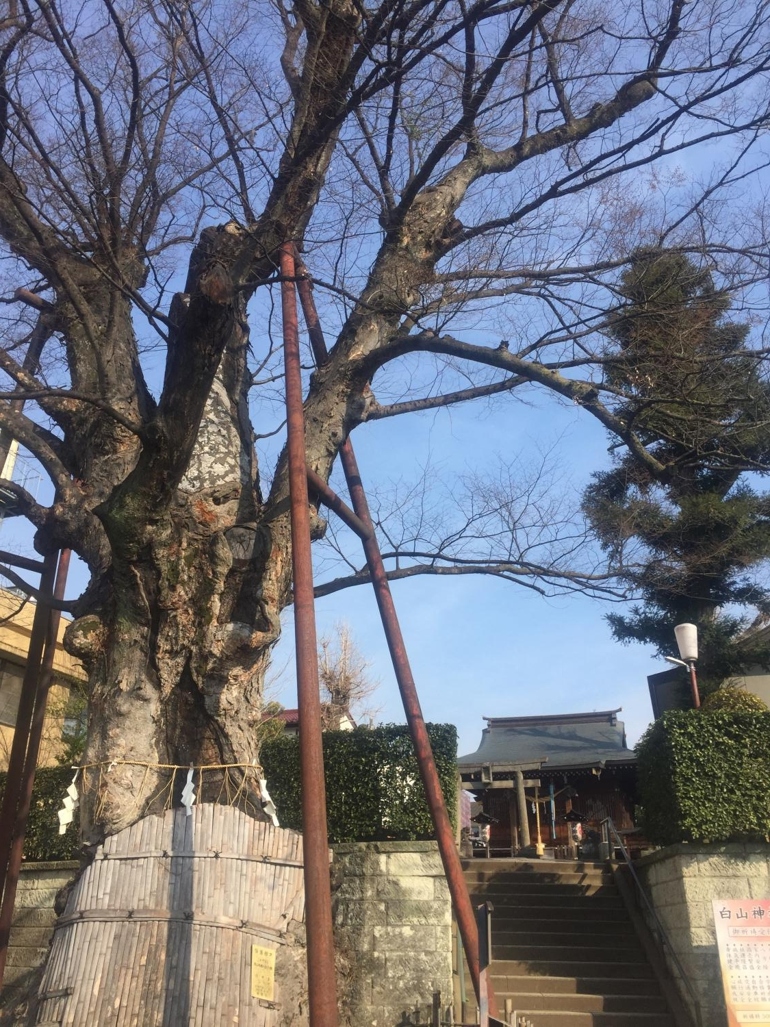 Natural monument (large zelkova of Hakusan, Nerima Shrine) of country