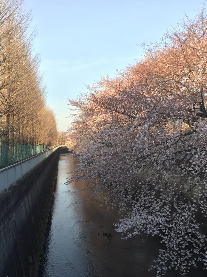 盛開為目標的石神井川的櫻花等。