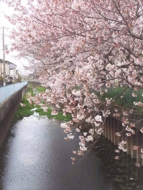 Favorite cherry blossoms