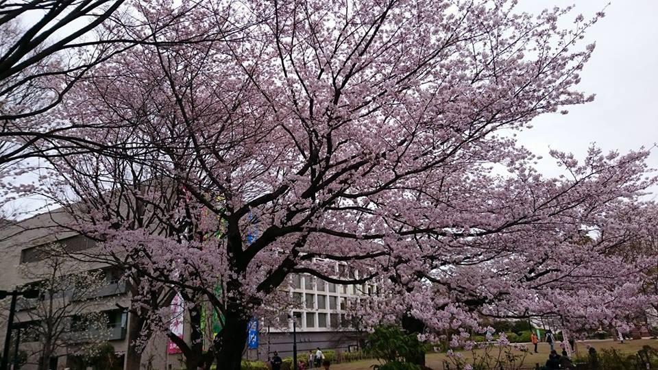 練馬文化中心也是櫻花盛開