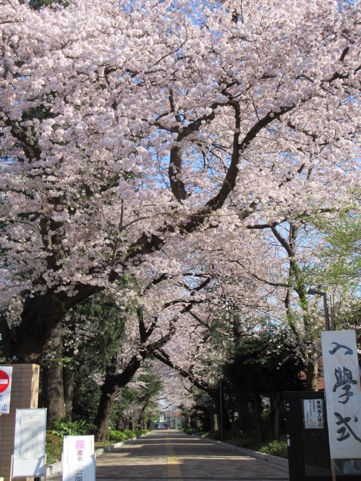도립 오이즈미 고등학교의 벚꽃길