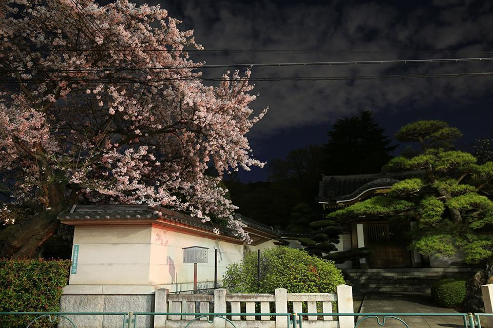 Going to see cherry blossoms at night in front of the House of practice asceticism on a high mountain