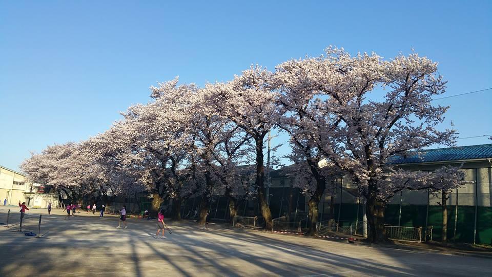 오이즈미 제2 중학교의 벚꽃