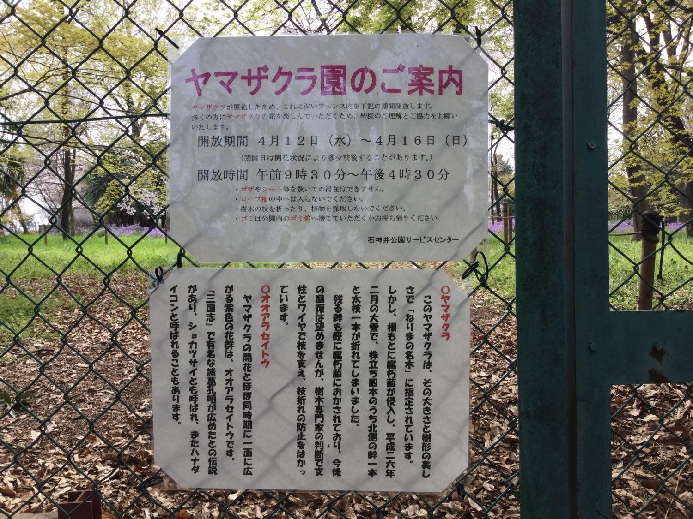 山櫻花和oaraseitou的公開開始。