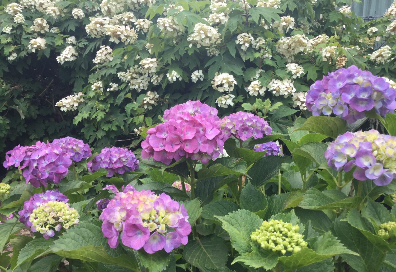 向三谷公园的紫阳花