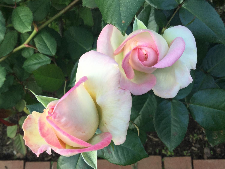 好的玫瑰花 ②