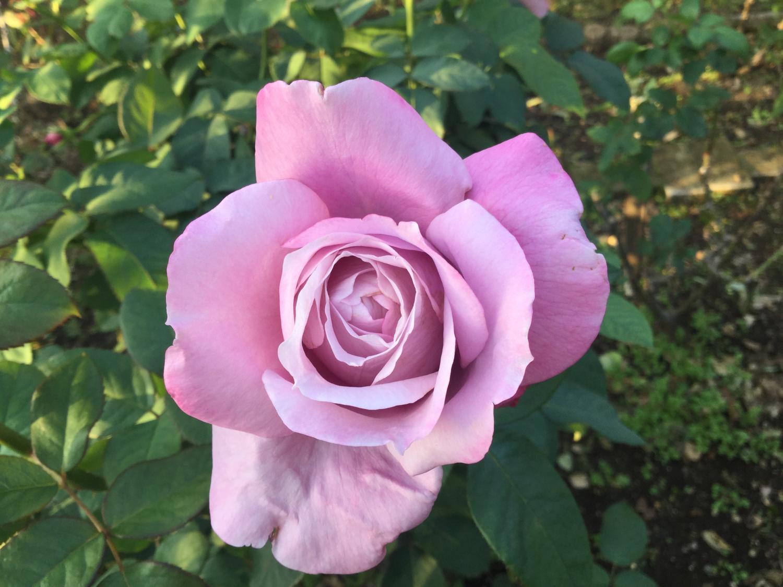 好的玫瑰花 ①