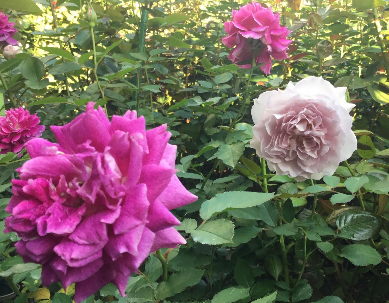 玫瑰花的飨宴 ③
