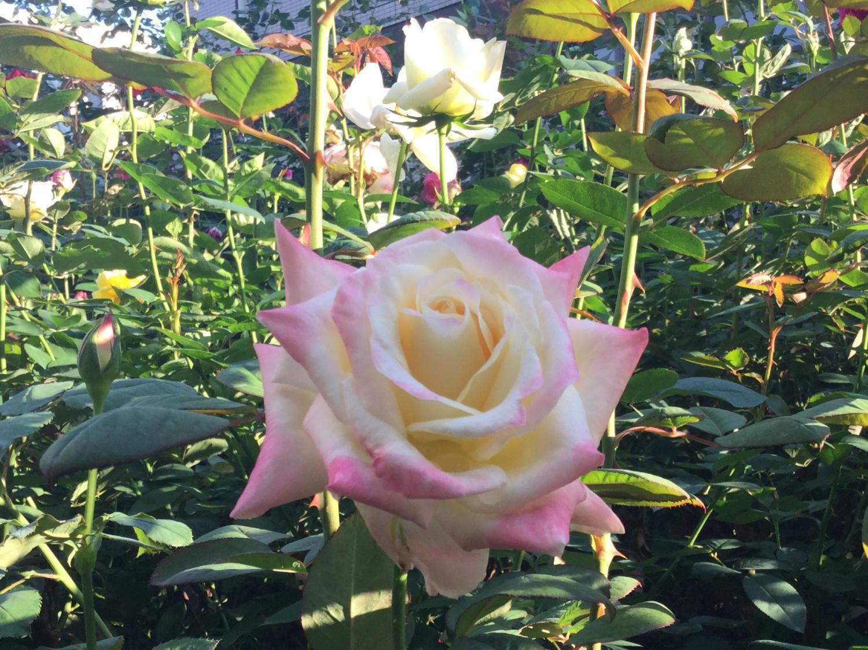 玫瑰花的飨宴 ②