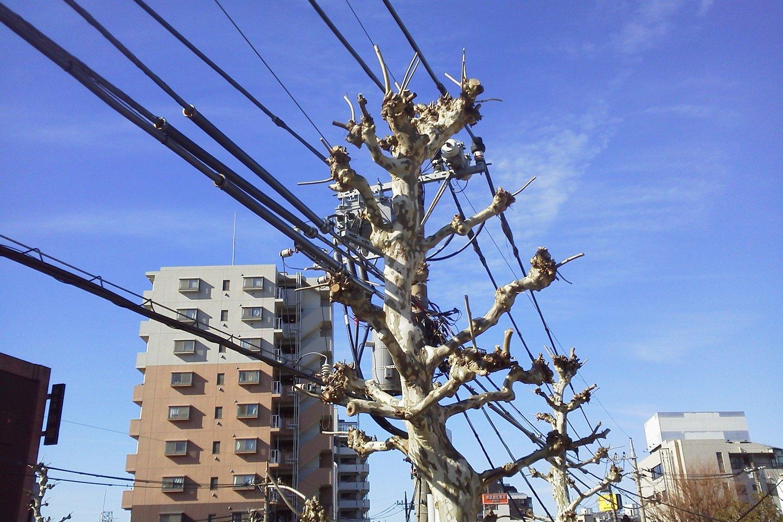看上去像電線桿的林蔭樹圖片