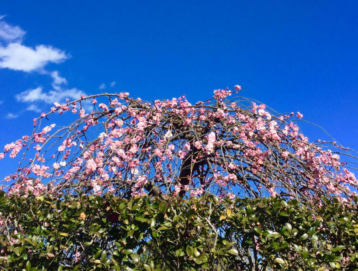 Droop Japanese apricot with red blossoms and white plum blossoms