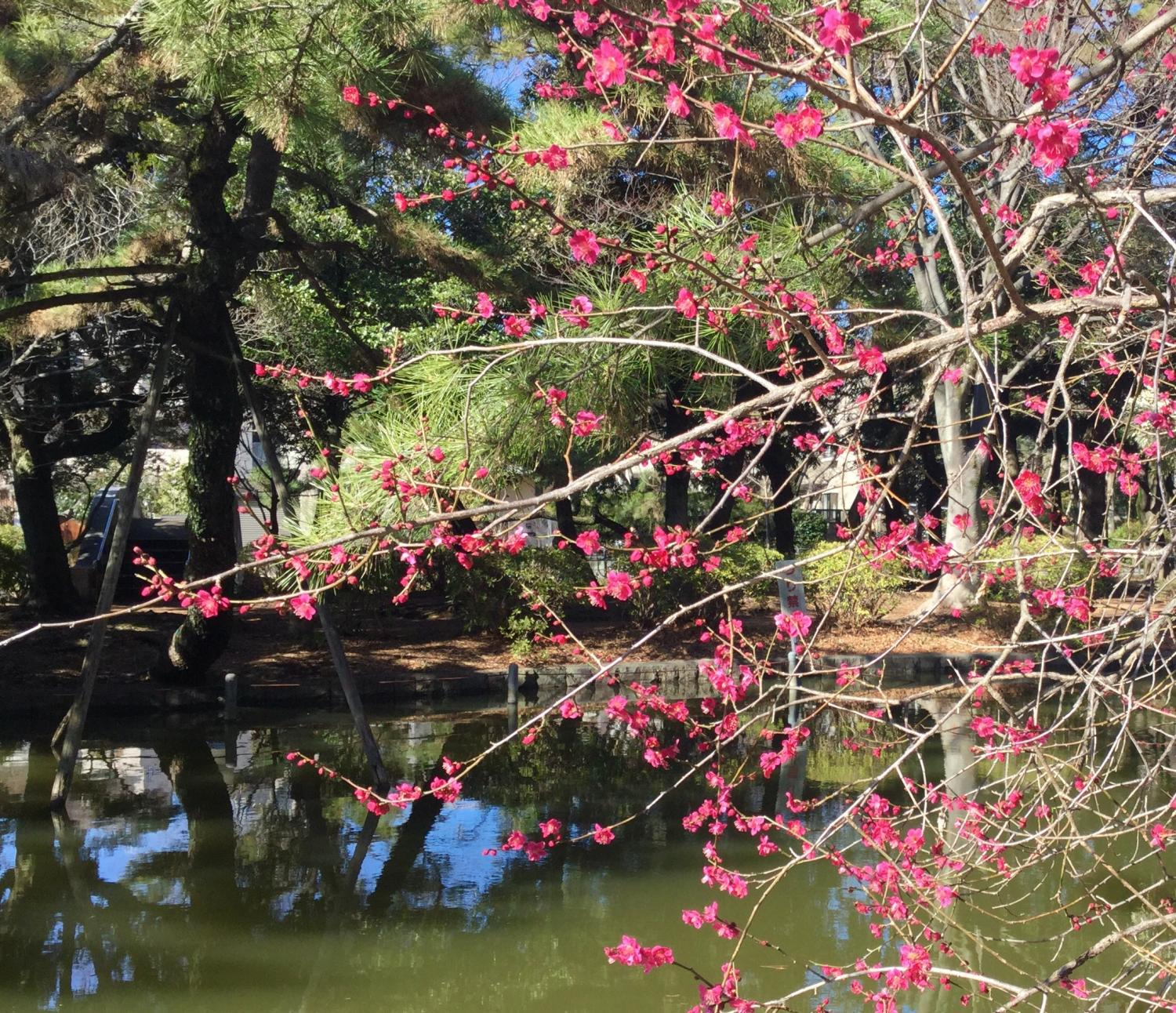 Japanese apricot with red blossoms is at their best