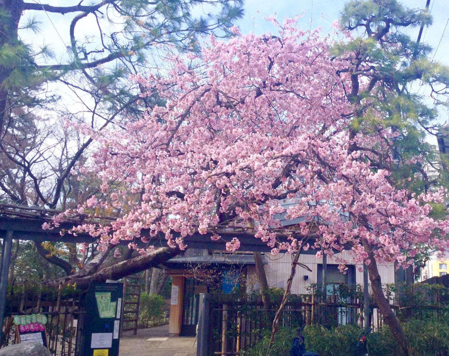 Cherry blossoms are wonderful for Daikan
