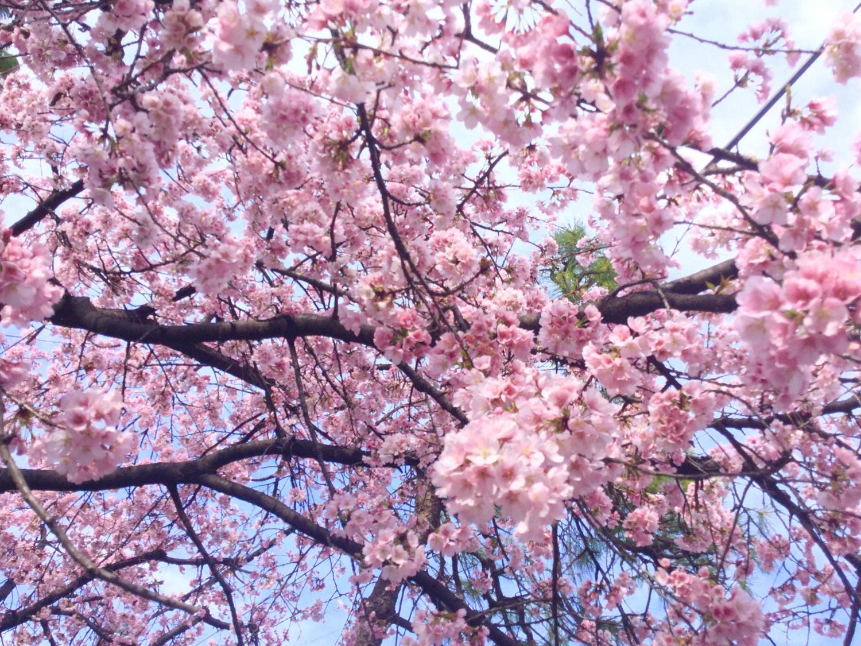 대한 벚꽃이 훌륭히 이미지