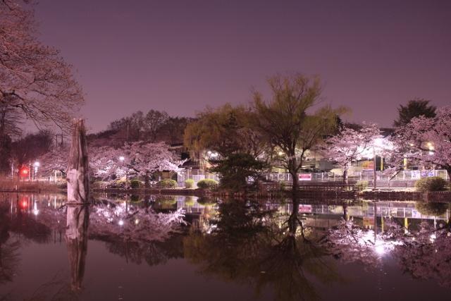 夜間櫻花是其他的臉圖片