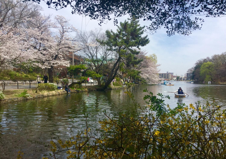 樱花和yamabuki图片
