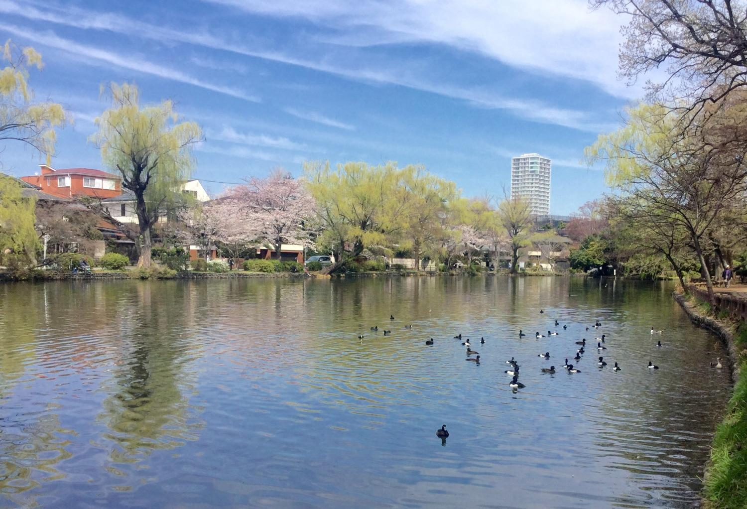 Spotbill ducks are cherry blossom viewing, too