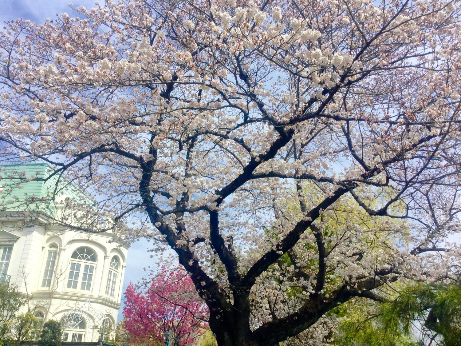 Cherry blossoms are very beautiful!