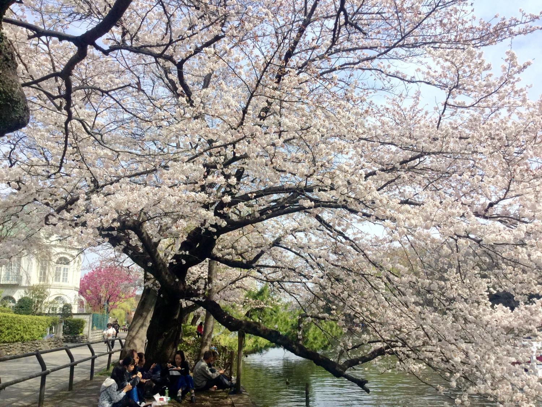 Cherry tree full bloom!